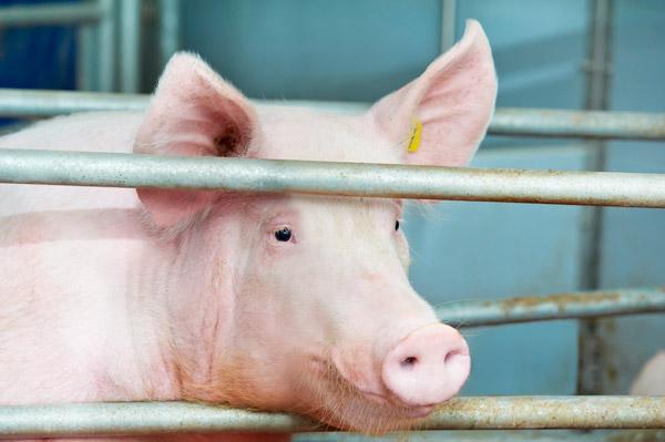 Африканская чума свиней подобралась к Киеву