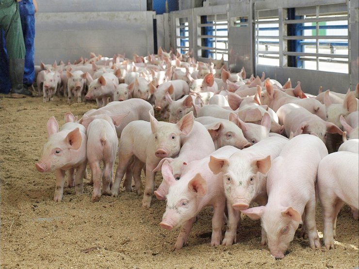 2019-10-pig-production-in-Russia-has-grown.jpg