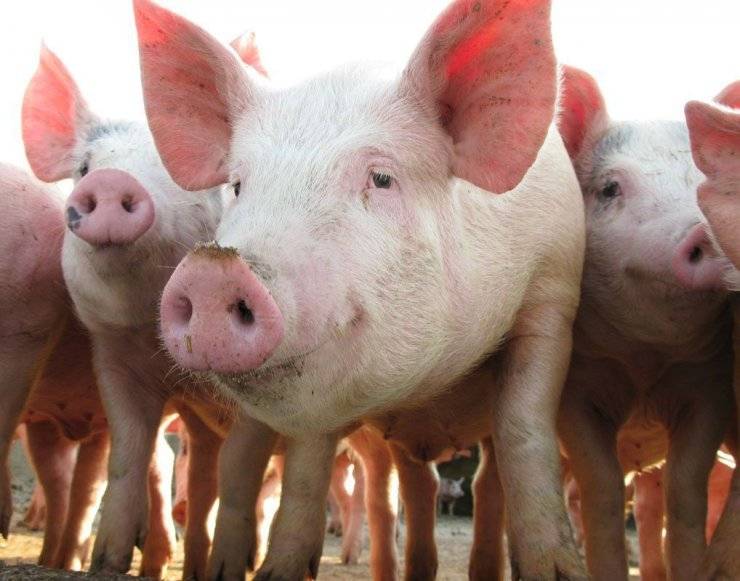 2019-10-pig_production-remains-leader-in-terms-of-production-growth-Russia-meat-market.jpg