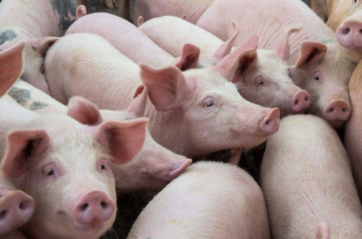 2019-08-Pigs-livestock-in-China-reduced-by-third.jpg