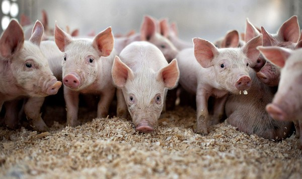 2019-07-Belarus-restricts-pork-imports-from-Bulgaria-and-Slovakia.jpg