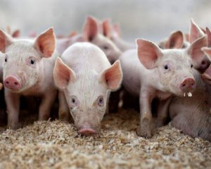 2019-02-Ukrainian-pork-can-become-scarce.jpg