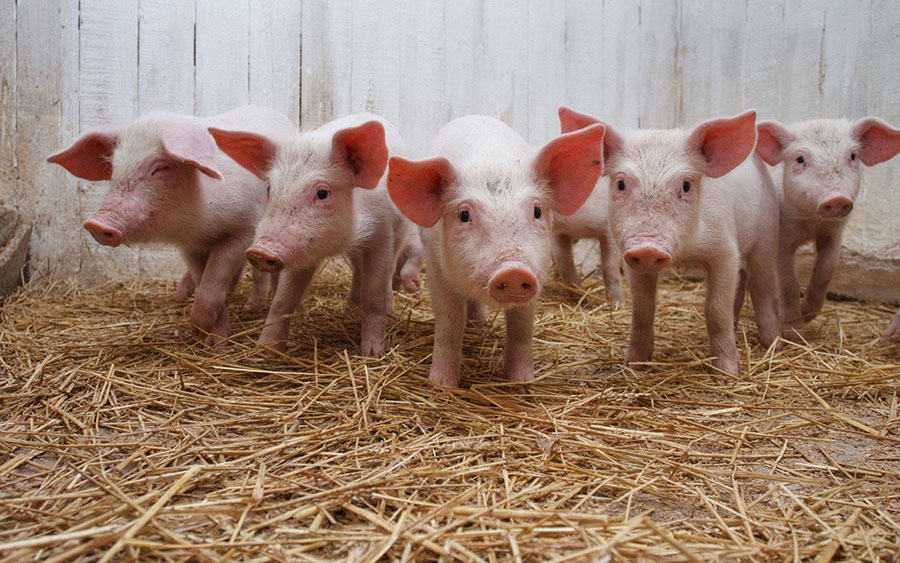 2019-07-pigs-number-northern-Kazakhstan-increased-almost-per-cent.jpg