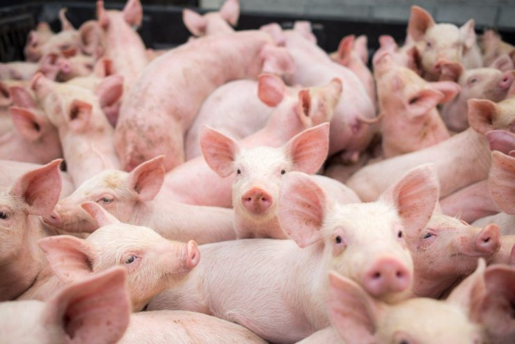 2019-07-Corall-company-build-six-more_pig-breeding-complexes-near-Tver.jpg