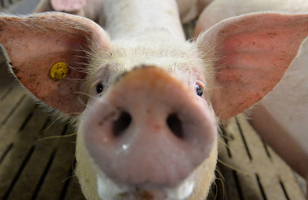2018-11-Russia-VPSS-changed-pigs-supply-term-from-EU.jpg